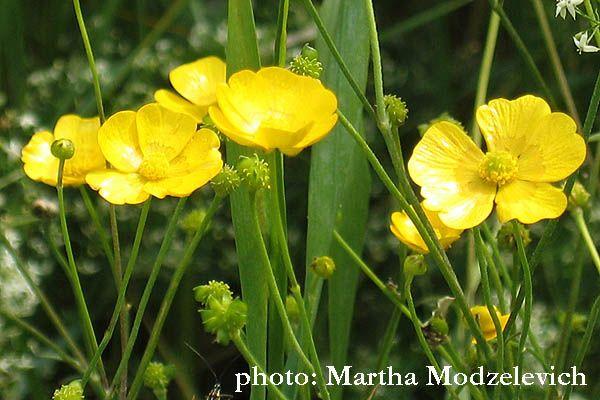 Ranunculus Acris Scharfer Hahnenfuss Smorblomma Forest Flowers Plants Wild Flowers