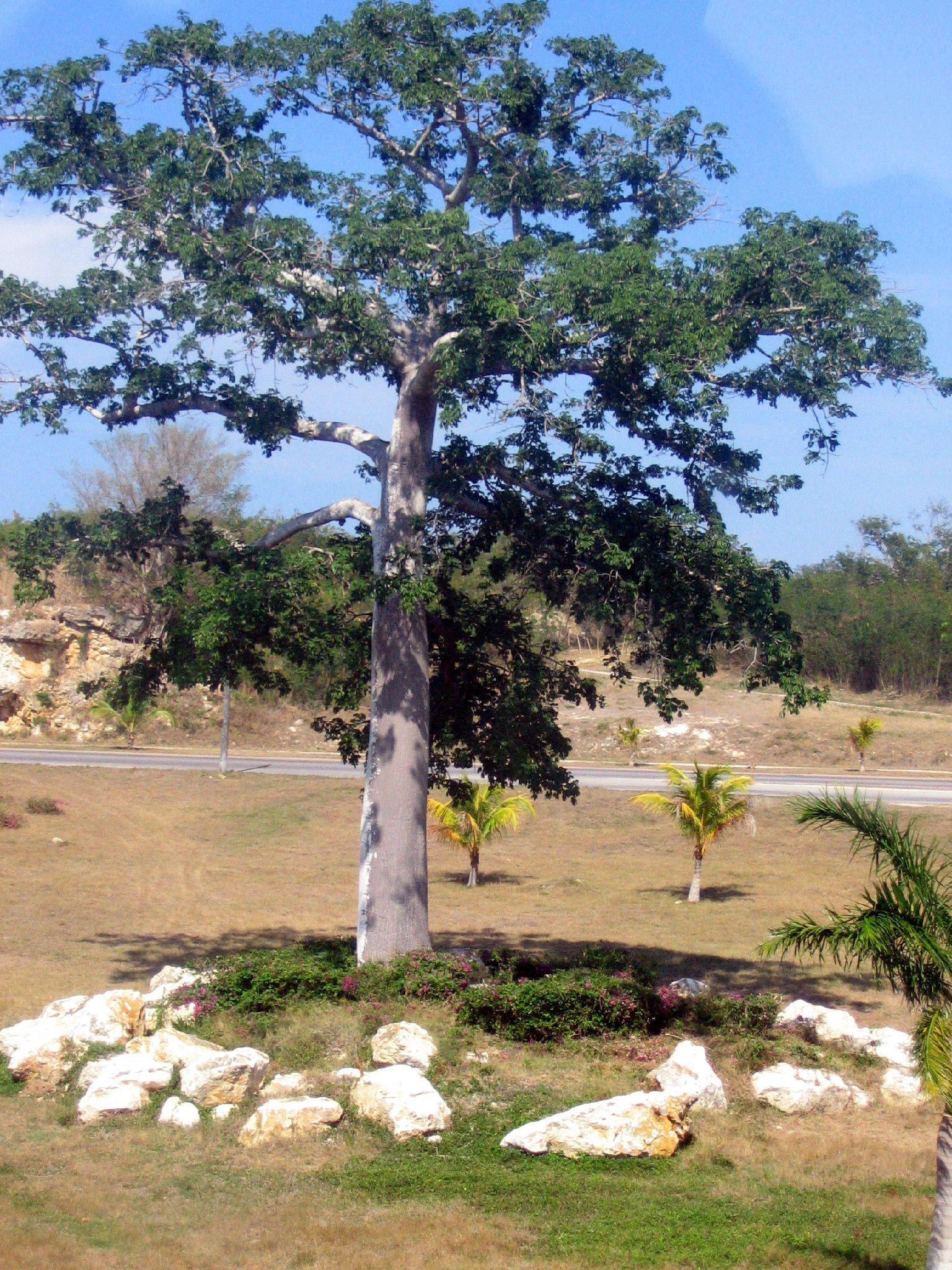 Cuban tree. Photo by Aspasia B.
