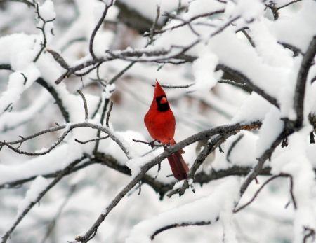 ღ Waiting Christmas ღ Desktop Nexus Wallpapers Red Birds Backyard Birds Winter Pictures