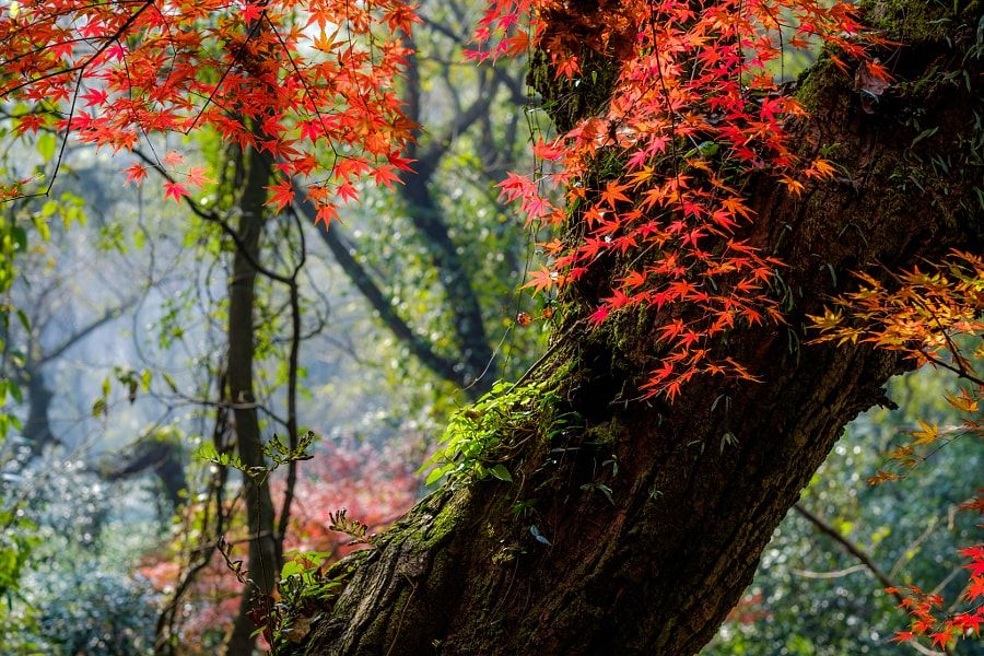 ***Red leaves and old tree (China) by 雨奇晴舟 Zhu yuzhou / 500px