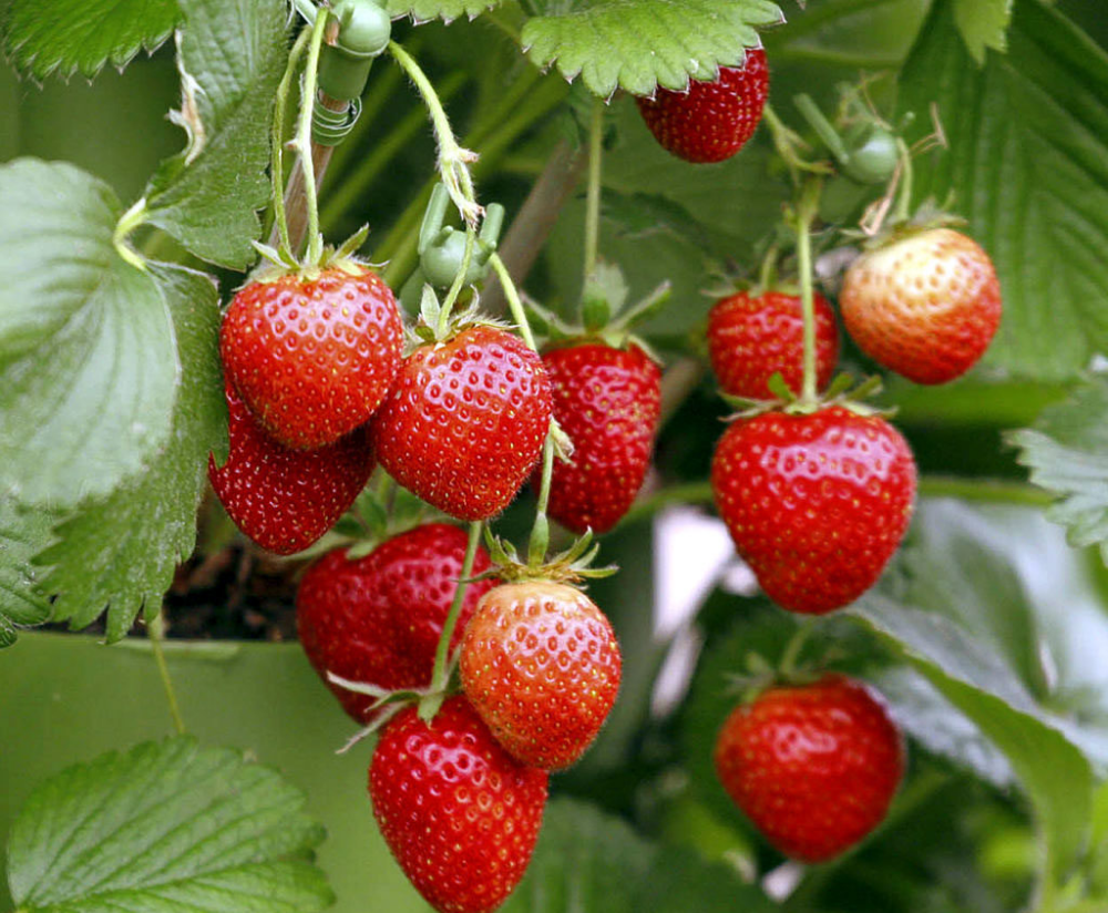Growing Strawberries In Containers How To Grow Strawberry Growing Strawberries In Containers Growing Strawberries Strawberries In Containers