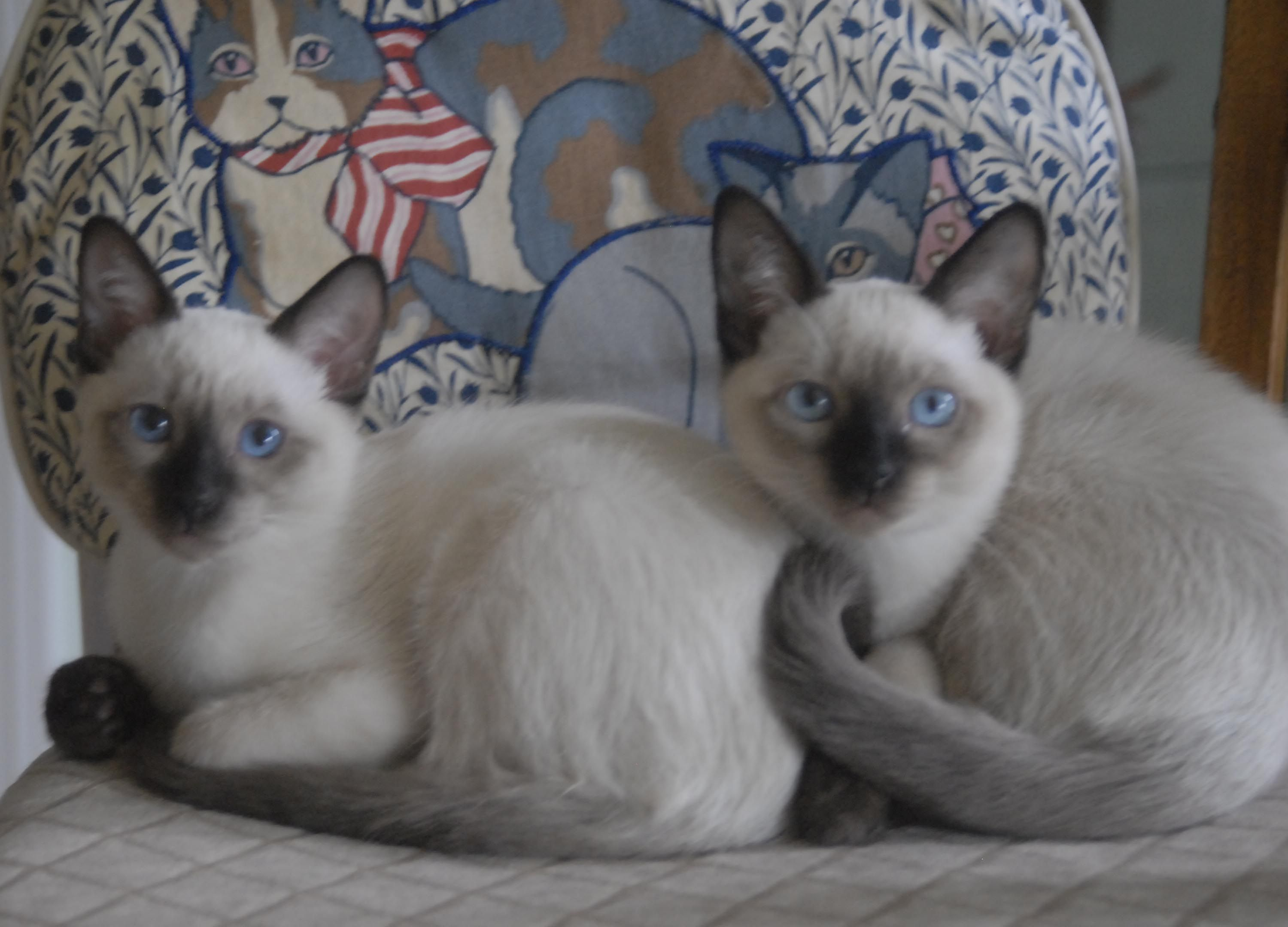 Fiasco Boxxi How Cute We Are Applehead Siamese At 16 Weeks Siamese Cats Pretty Cats Cats
