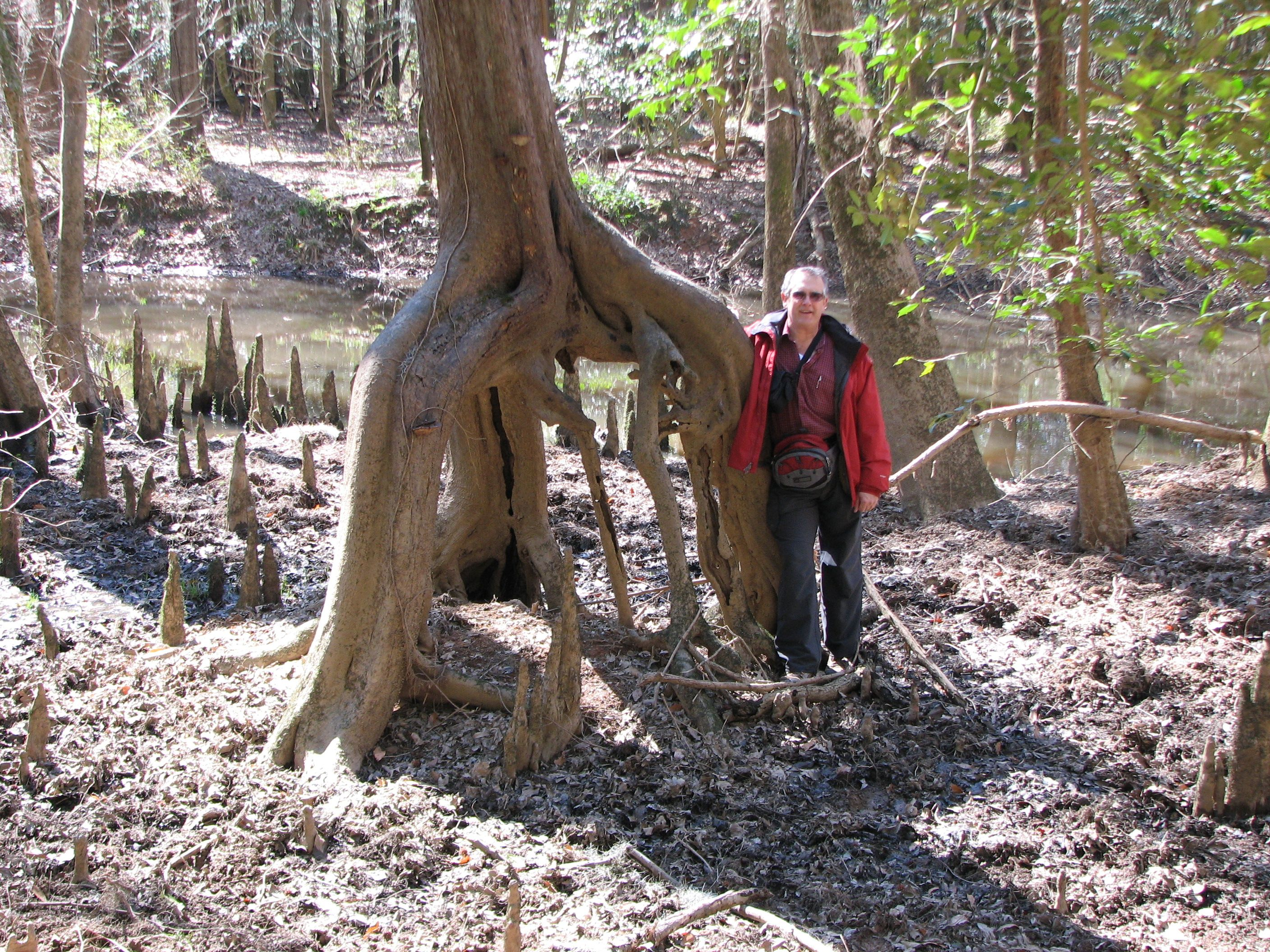 Classic Walking Tree In Congaree National Park,