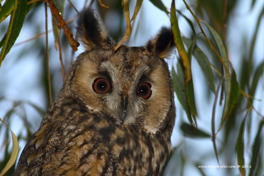 Long-eared Owl by Hakan BALIKCI