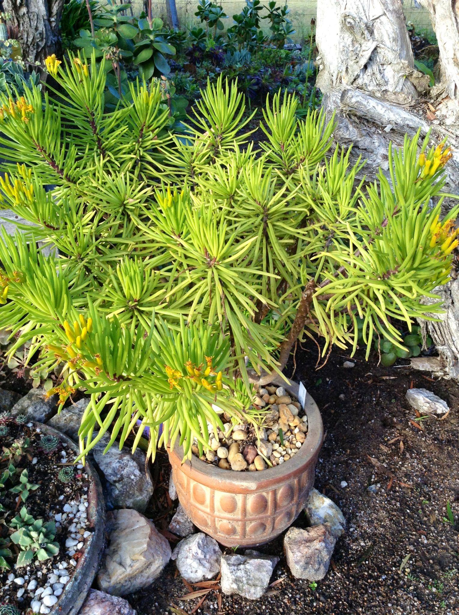 Senicio hermosae syn. Canariothamnus hermosae. Occurs in the Canary Islands | Collectors Corner, Gardenworld, Braeside