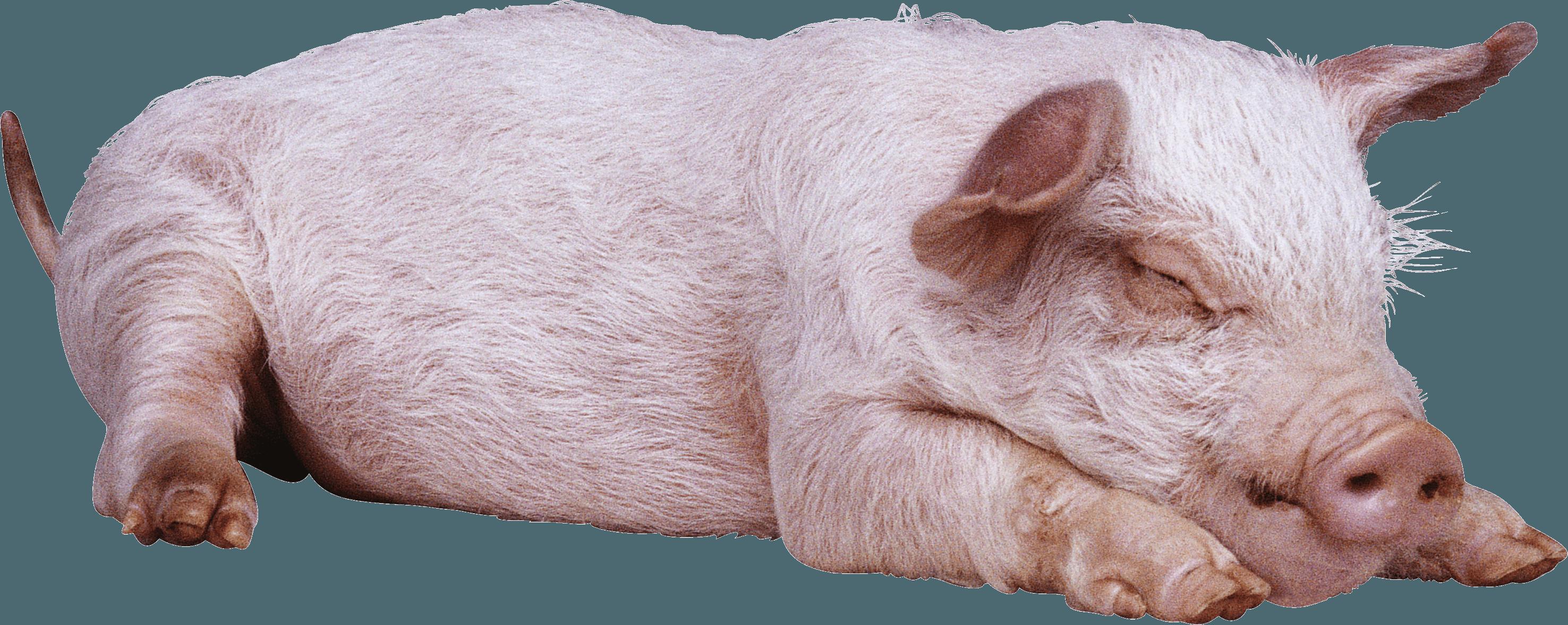 Pig Png Image Pig Png Pig Png