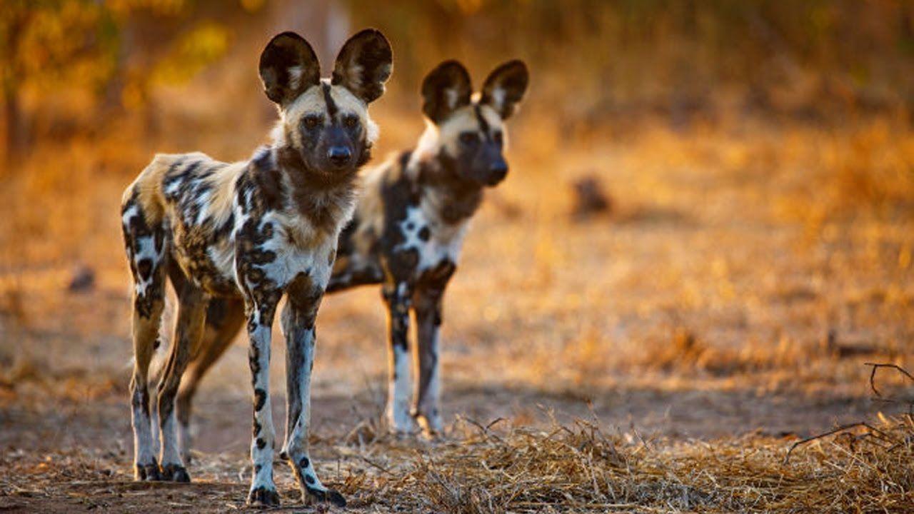 Discovery Channel Animals Predators Wild Dogs Nat Geo