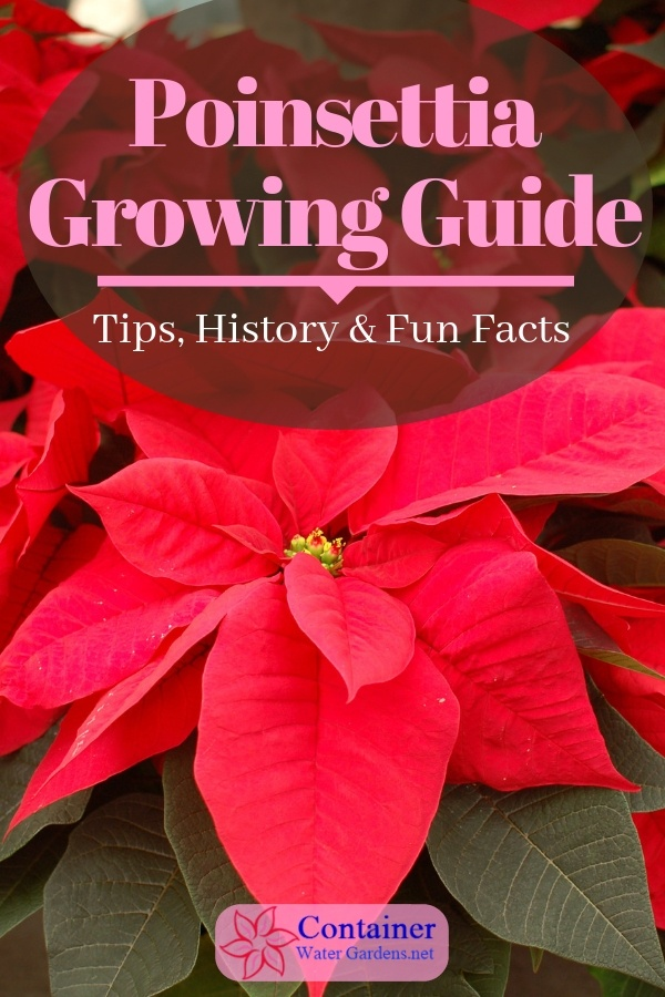 Poinsettia Growing Guide Container Water Gardens Container Water Gardens Poinsettia Water Garden