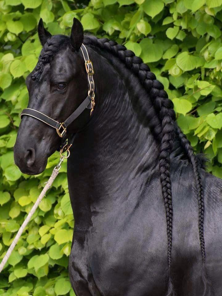 Black Friesian Horse Braided Mane Halter Stallion Gelding