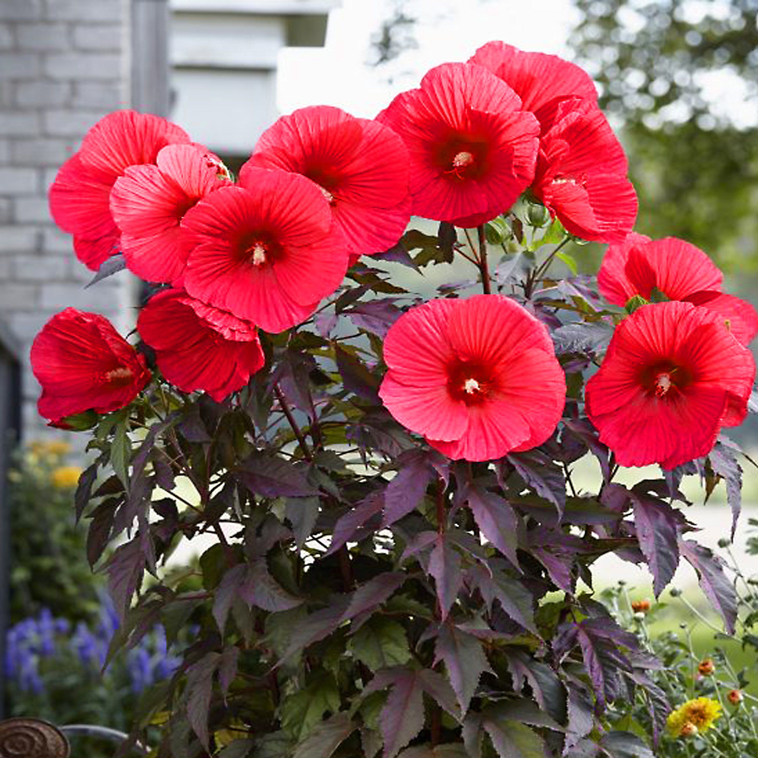 Kup Teraz Na Allegro Pl Za 20 Zl Hibiskus Meksykanski Mrozoodporny Kwiat Gigant Mix 7531924984 Allegro Pl Radosc Zakupow I Bezpiecz Kwiat Flowers Plants