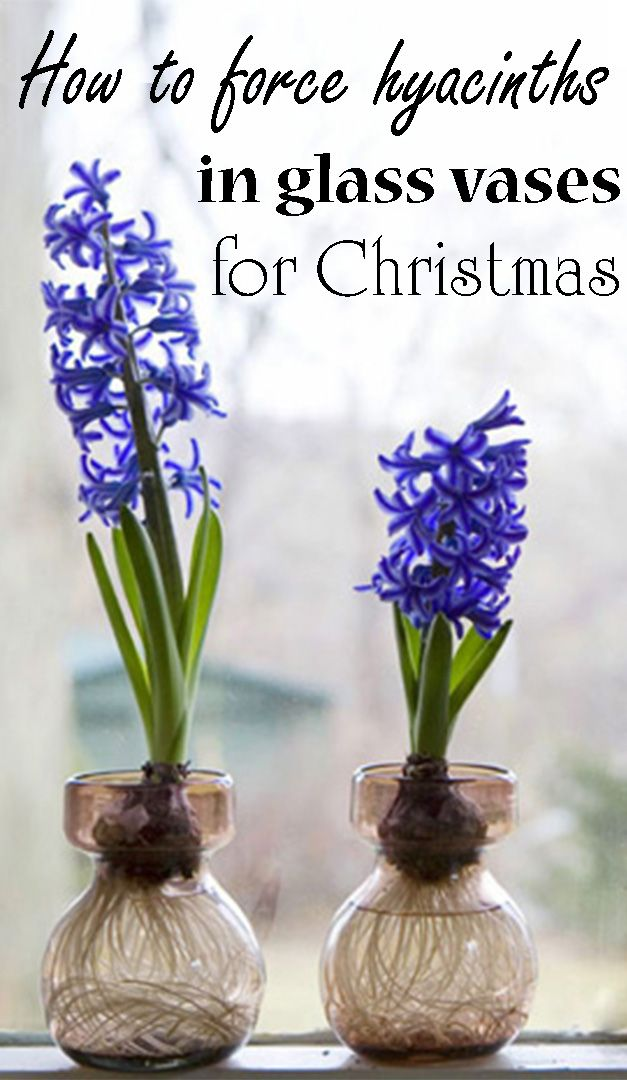 Forcing Hyacinth Bulbs To Flower For Christmas Spring Bulbs Beautiful Flowers Garden Blooming Flowers