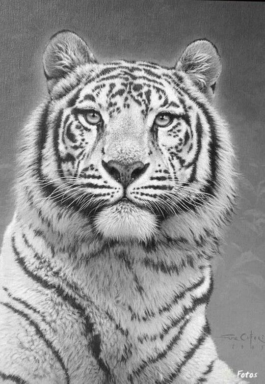 Tiger Cat Coloring pages colouring
