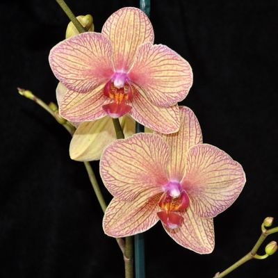Phal Yellow Orange Striped Orchids Phalaenopsis Orchid Orchids Garden