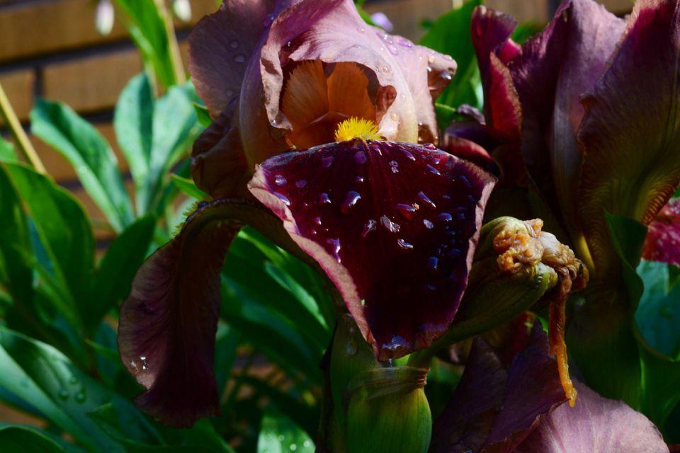 Kurjenmiekka – suklaata ja pisaroita | Vesan viherpiperryskuvat – puutarha kukkii
