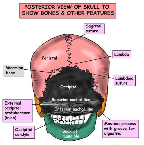 Instant Anatomy - Head and Neck - Areas/Organs - Skull - Posterior view of skull
