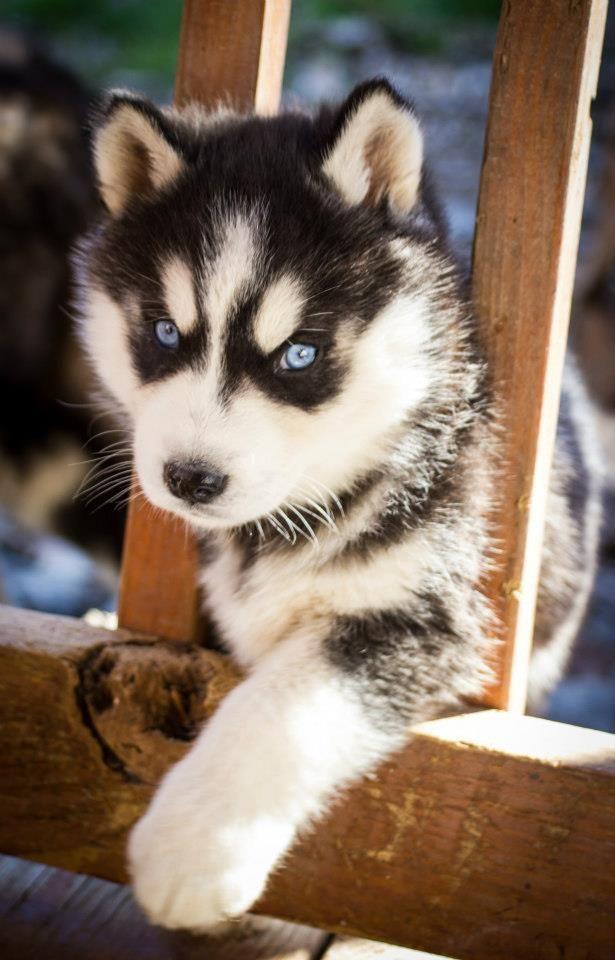 Www Facebook Com Goodwinhillhuskies Husky Siberian Husky Dogs