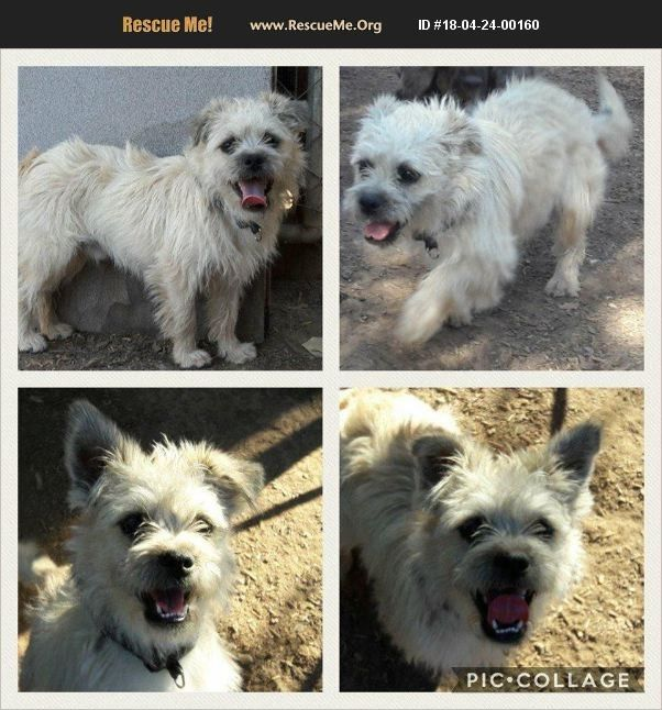 Car Sez Rescue Me Org Cairn Terrier Young 2018 Cairn Terrier
