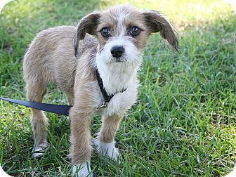 Burbank Ca Sandy Is A Tan And White Terrier Mix Puppy About 3 Months Old And 6 Pounds She S