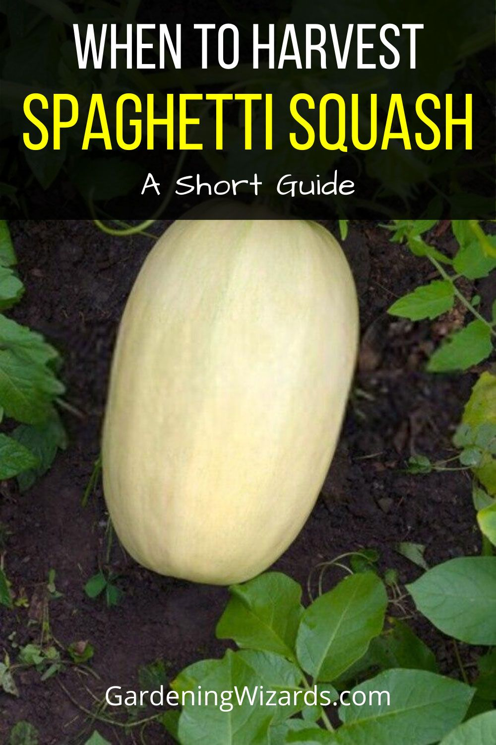 The Spaghetti Squash Is Winter Squash Plant So The Goal Of This Article Is To Give You An Add Spaghetti Squash Plant Growing Spaghetti Squash Spaghetti Squash