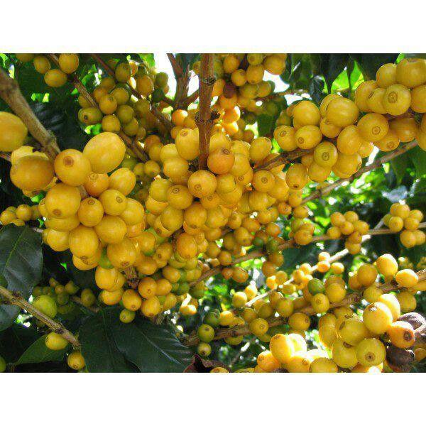 Nisperos frutas costa rica frutas pinterest for Cocinar nisperos