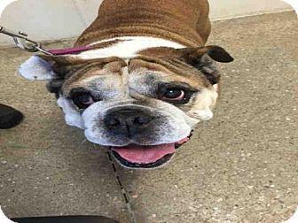 Lawrence Ks English Bulldog Meet Bella A Dog For Adoption