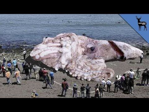 Real giant squid
