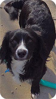 Los Angeles Ca Cocker Spaniel Dachshund Mix Meet Andy A Dog For Adoption Dachshund Mix Cocker Spaniel Dog Adoption