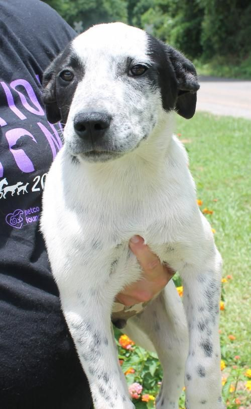Meet Johnny 22686, a Petfinder adoptable Labrador Retriever Dog | Prattville, AL | Johnny is a 4-month-old male Lab mix. He is mostly white but has some good looking black markings....