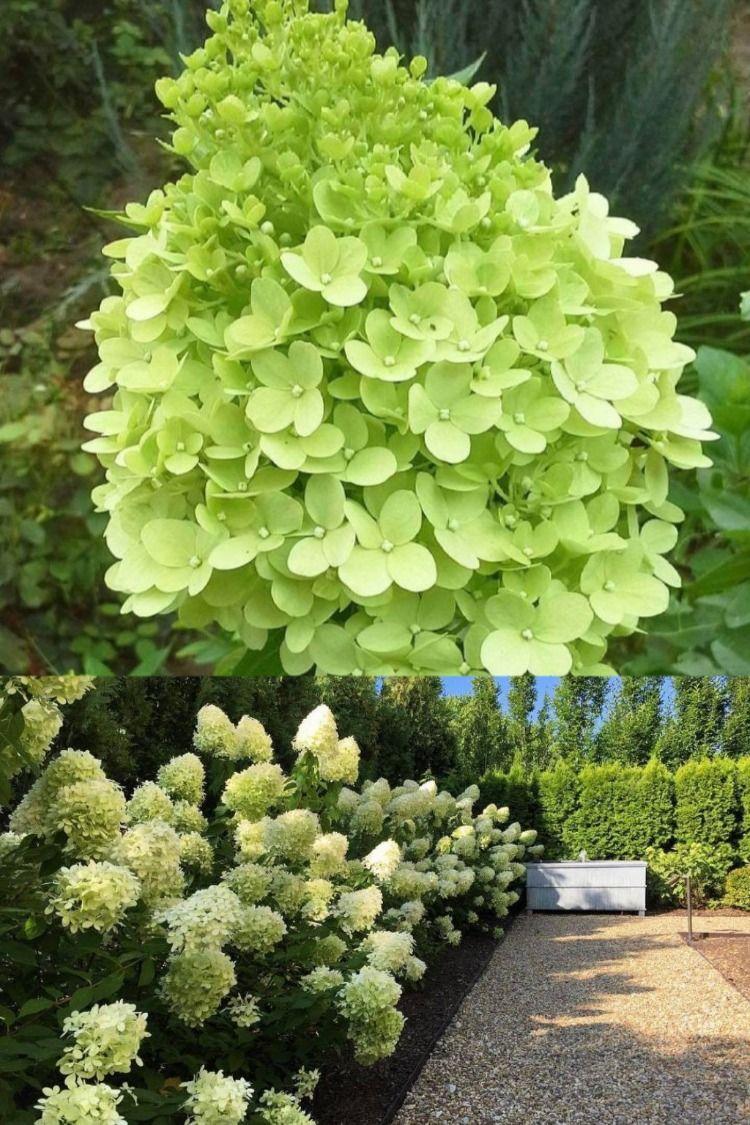Hortensja Limelight Shrubs Plants Garden