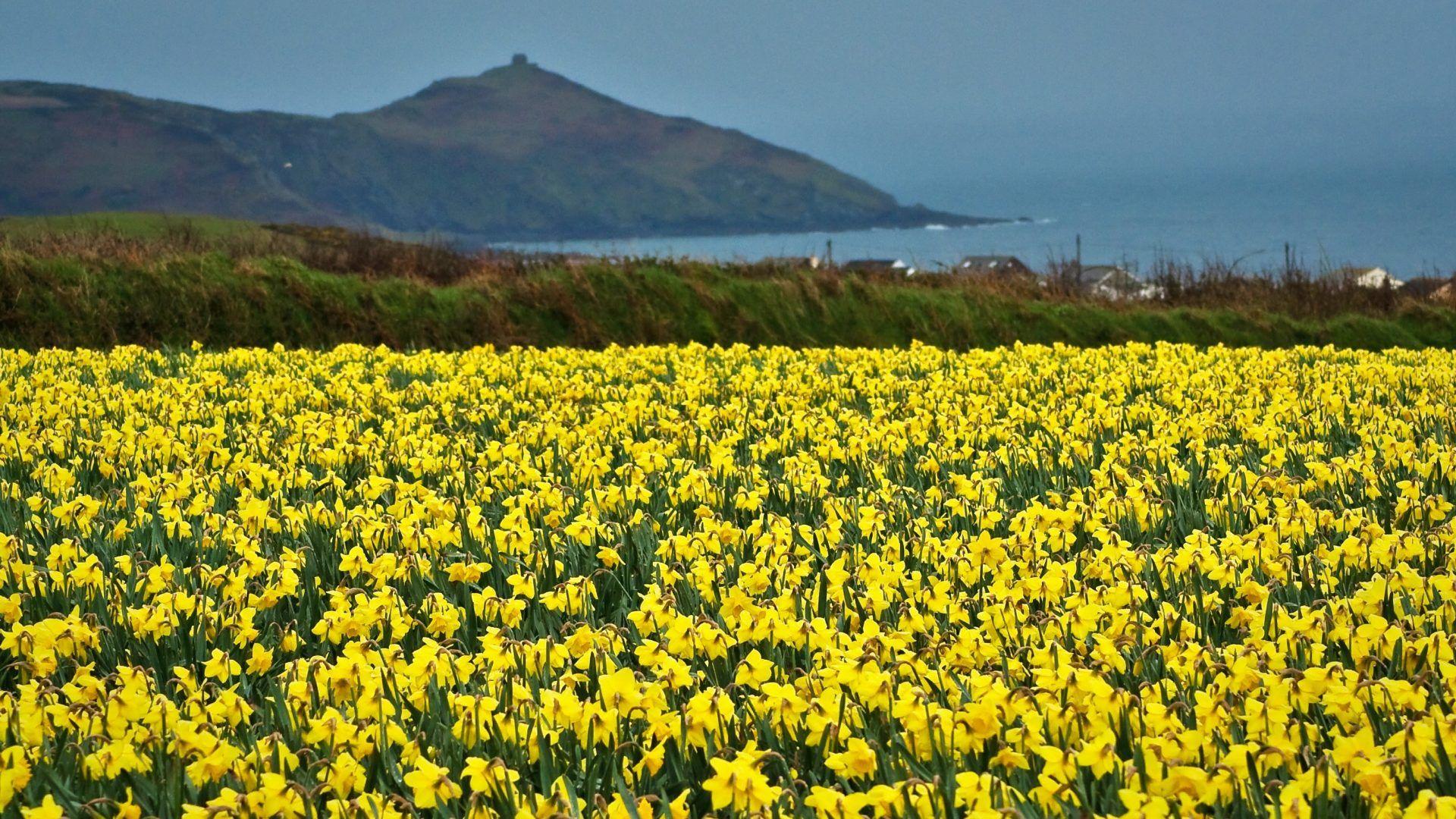 field daffodils beautiful yellow flower scenery [1920x1080] | reddit