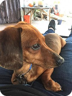 Pin By Rhoanna Borges On Help Them Pets I Love Dogs Dachshund