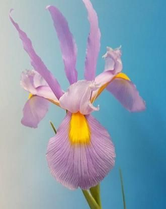 Dutch iris pink panther flowers pinterest dutch iris iris and dutch iris pink panther flowers pinterest dutch iris iris and flowers mightylinksfo