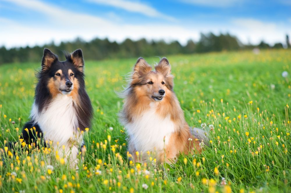 10 great dog breeds for first time owners dog breeds