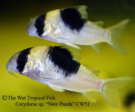 "Corydoras sp. ""New Panda"" CW51 **I saw these at the place by Grandpa's work."