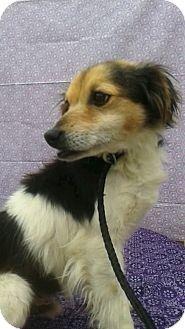 Columbia Tn Sheltie Shetland Sheepdog Jack Russell Terrier Mix Meet Larry A Dog For