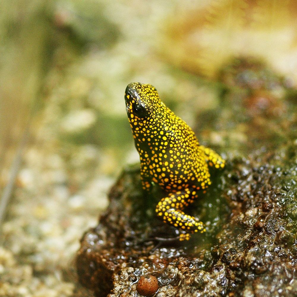 "Amazing Frog: Photo : Grenouille ""Dendrobate Histrionicus Pangala"