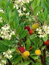 Strawberry tree compacta pretty white to pink bell shaped strawberry tree compacta pretty white to pink bell shaped flowers mightylinksfo