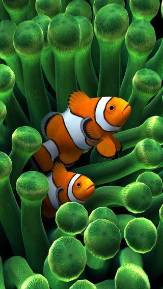 Clown Fish At Home Beautiful Sea Creatures Fish Wallpaper Clown Fish