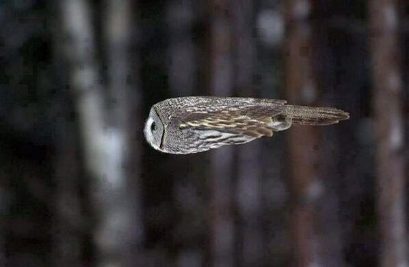 An owl during flight...!