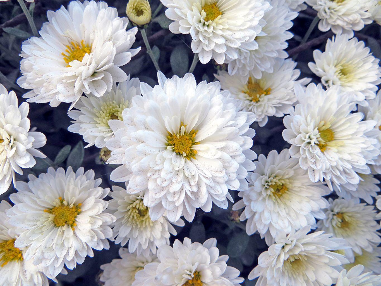 подорожника картинки цветы белого цвета лосям