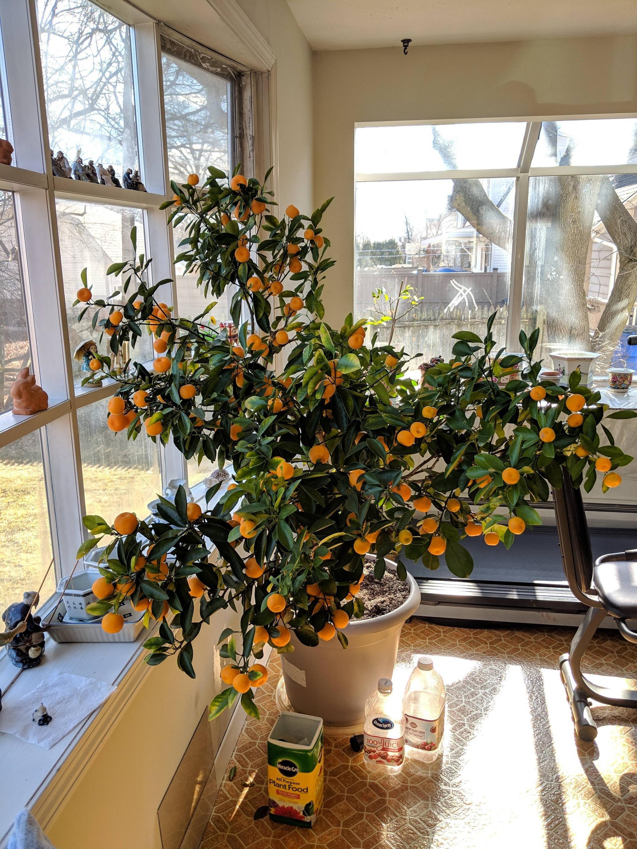 My Grandma S Prized Calamondin Orange Tree I M Inheriting She