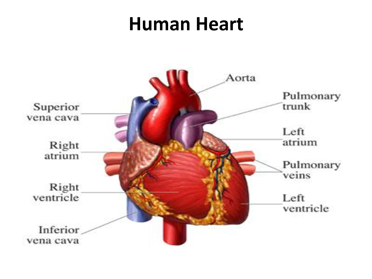 For you who are curious about how human heart work and ...