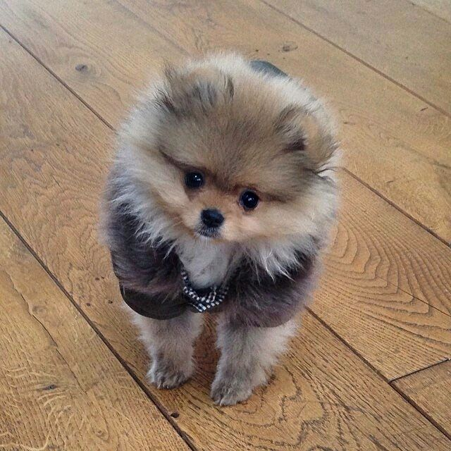 Adorable Pomeranian Puppy Cute Animals Puppies
