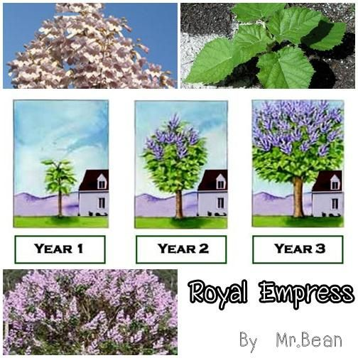 Royal Empress Trees Lavender flowers Jasmine and Orchid