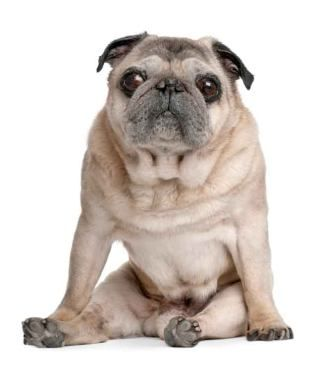 Pug Names For The One Of A Kind Male Or Female Pug Names