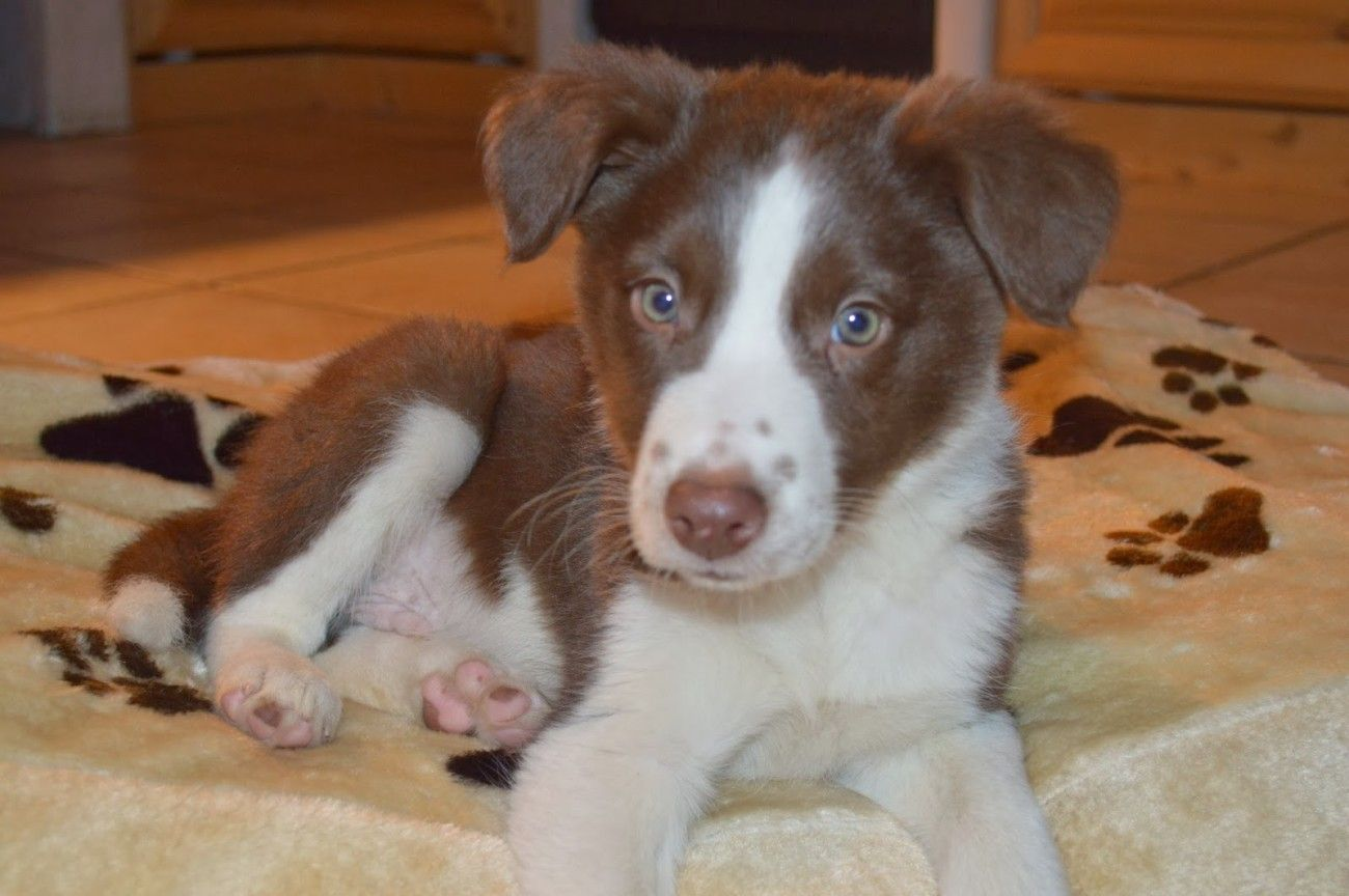 chocolate&white border collies puppies 4sale Trade Me