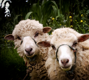 Merino wool is incredibly popular for a variety of reasons! Click to learn about the fascinating history behind it! #wool #fashion