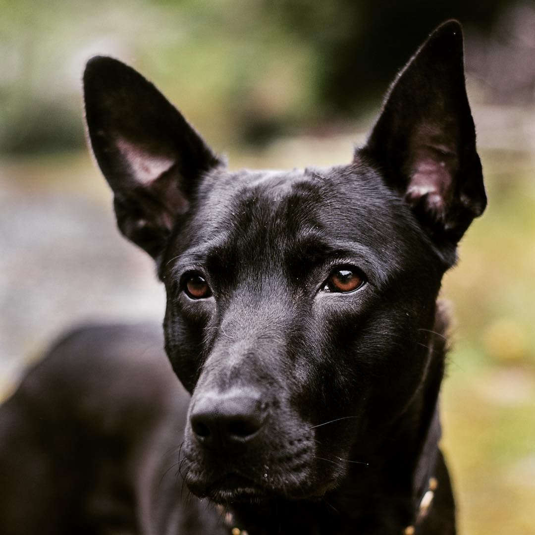 coated xolo daydreaming about dogs pinterest dog