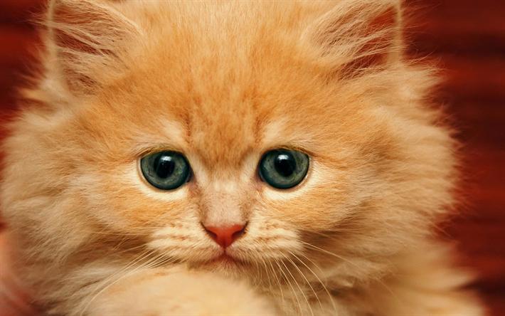 Lataa kuva Persialainen kissa, 4k, inkivääri kissanpentu, söpöjä eläimiä, pentu, kissat