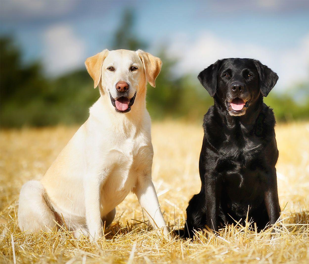 German Shepherd Vs Labrador Retriever Two Loving And Loyal Breeds In 2020 Labrador Retriever American Labrador Labrador
